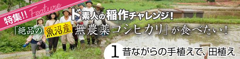 ド素人の稲作チャレンジ(1)昔ながらの手植えで、田植え